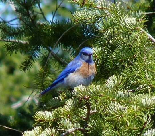 Bluebird sighting from 2011